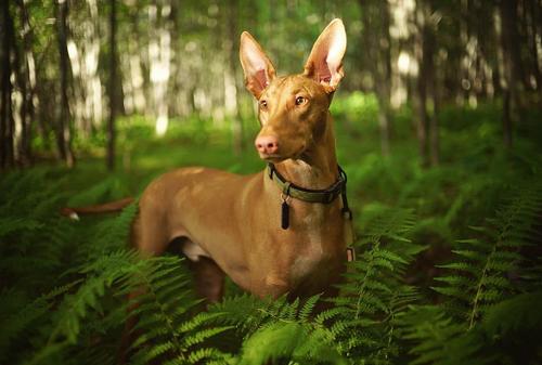 Кои са най-скъпите породи кучета