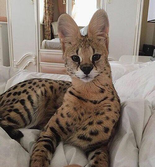 10-те най-скъпи котки в света