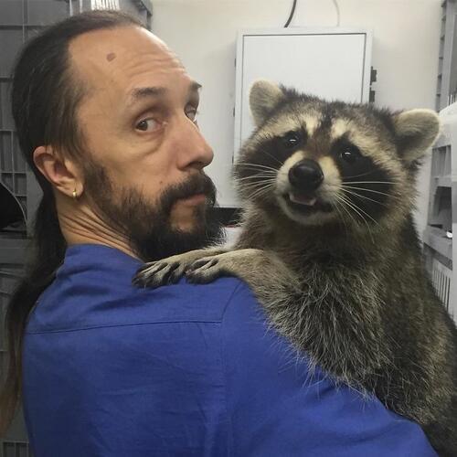 """Енот, който """"работи"""" във ветеринарна клиника и има специално умение"""