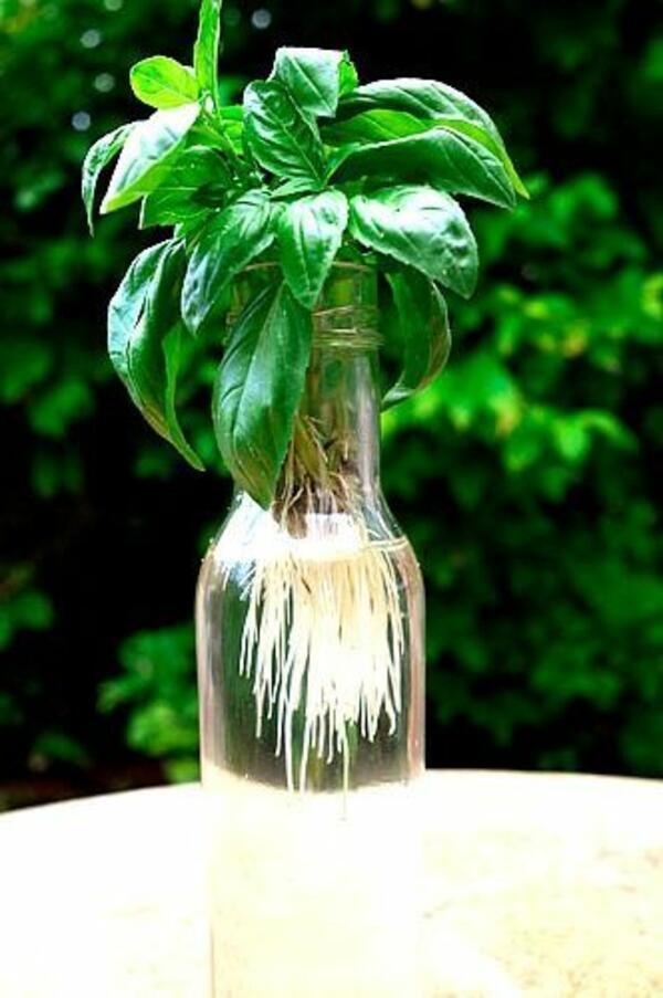 5 растения, с които да изгоните комарите