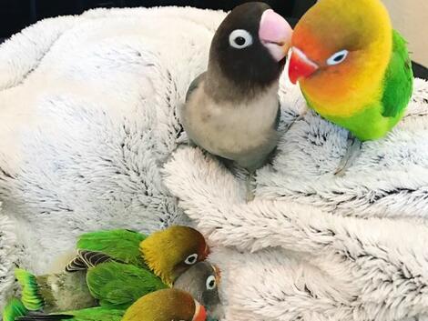 Любовната история на 2 папагала